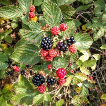 Blackberries on the Prairie Spirit Trail