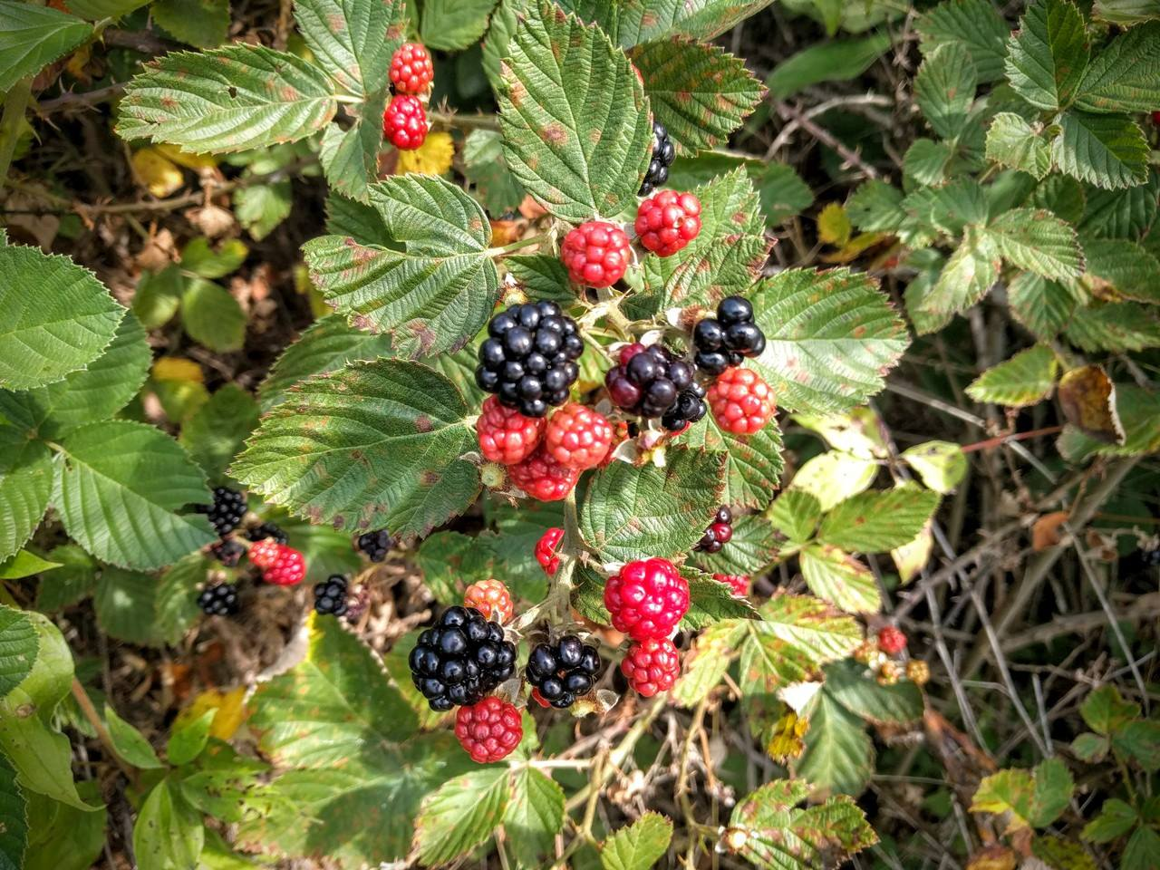 PST-Blackberries-Colony