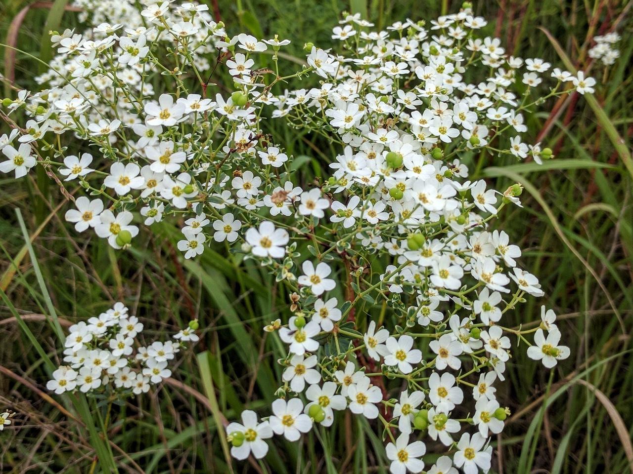 PST-Flowering-Spurge