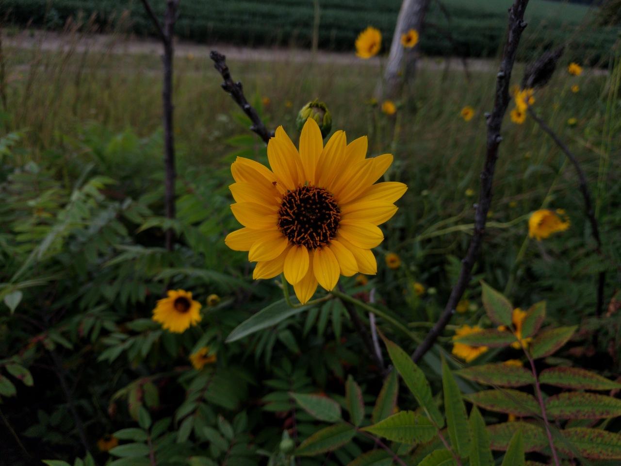 PST-Maximilian-Sunflower
