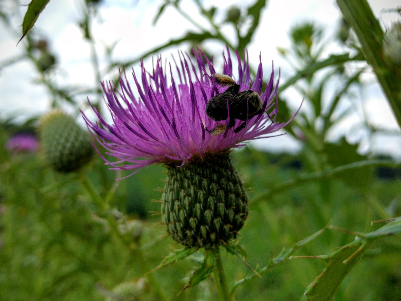 PST-Tall-Thistle